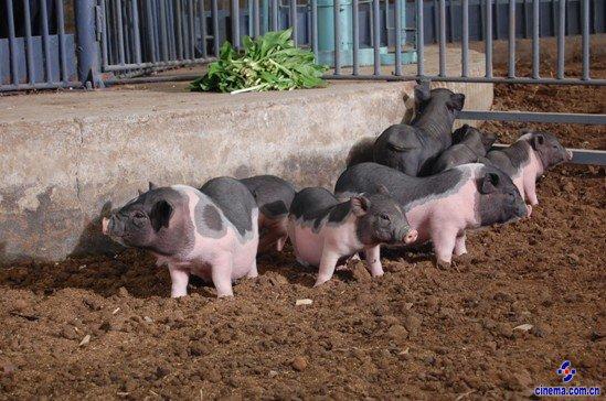 拍摄带有动物的画面就是这样:它既是机遇(拍好了画面很漂亮),也是挑战(动物不听话,不好拍)。人和动物毕竟缺乏沟通,有时候把动物惹急了,它还会跳墙。比如这次拍三娃在养殖场逮猪的戏:三娃女友不忍猪臭离开,三娃正郁闷时一头家猪跑出了猪栏,费了九牛二虎之力抓到了猪后,抱怨了句:小丽跑了你也想跑哇。抓猪这两个字放到影视语言里就是一连串的动作,剧中的养猪场是拿一个废旧的砖厂改造而成,面积有半个足球场大小,猪放到里面撒着欢跑开了,要是体力不好的一般还逮不着。幸而我们演员身手矫健,撵得小猪满院子乱窜,三两下就能把猪按倒